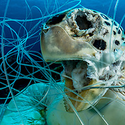 A green sea turtle tangled in fishing line and drown. <br />