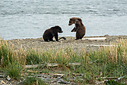 Brown Bear cubs play along the lower Brooks River lagoon in Katmai National Park and Preserve September 16, 2019 near King Salmon, Alaska. The park spans the worlds largest salmon run with nearly 62 million salmon migrating through the streams which feeds some of the largest bears in the world.