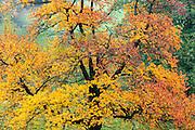 herbstlich bunter Kirschbaum, bei Hinterhermsdorf, Sächsische Schweiz, Elbsandsteingebirge, Sachsen, Deutschland | autumn cherry tree near Hinterhermsdorf, Saxon Switzerland, Saxony, Germany
