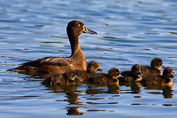 A mother and her offspring in the Serpentine in Hyde Park as another heatwave day begins with temperatures expected to soar. London, July 01 2018.
