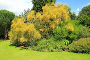 Yellow cascading flowers Mount Etna Broom, Genista aethnensis, Kew Gardens, London, England, UK