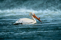 American White Pelican (Pelecanus erythrorhynchos) swimming below the weir, Carsland Provincial Park, Alberta, Canada   Photo: Peter Llewellyn