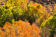 Backlight on fall aspens along Bishop Creek, Inyo National Forest, Sierra Nevada Mountains, California