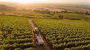 2016 harvest at Cristom, Eola Amity Hills, Willamette Valley