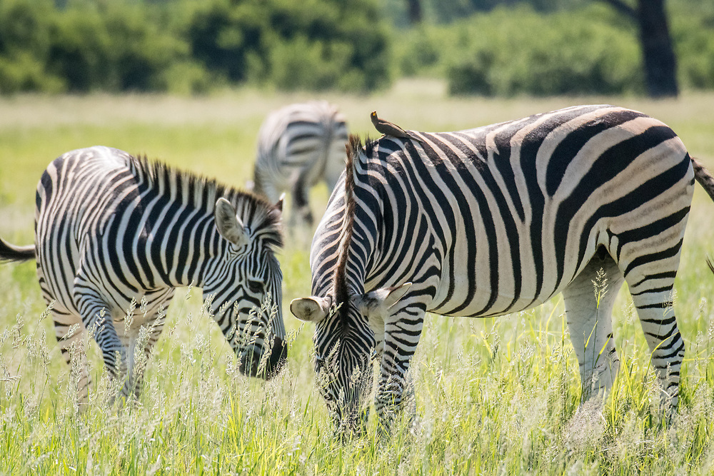 A group of zebras graze on the grasslands of the savanna in Hwange National Park. Hwange, Zimbabwe.