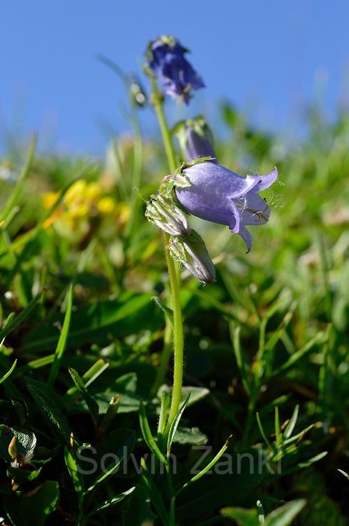 Bearded Bellflower (Campanula barbata) High Tauern National Park (Nationalpark Hohe Tauern), Central Eastern Alps, Austria   Bärtige Glockenblume (Campanula barbata) Nationalpark Hohe Tauern, Osttirol in Österreich