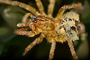 Wolf spider (Pirata piraticus) | Die Piratenspinne (Pirata piraticus) lebt in den Uferbereichen von Gewässern. Die Jungspinnen begeben sich nach dem Schlupf sofort auf den Rücken ihrer Mutter und verbleiben dort die erste Zeit ihres Lebens