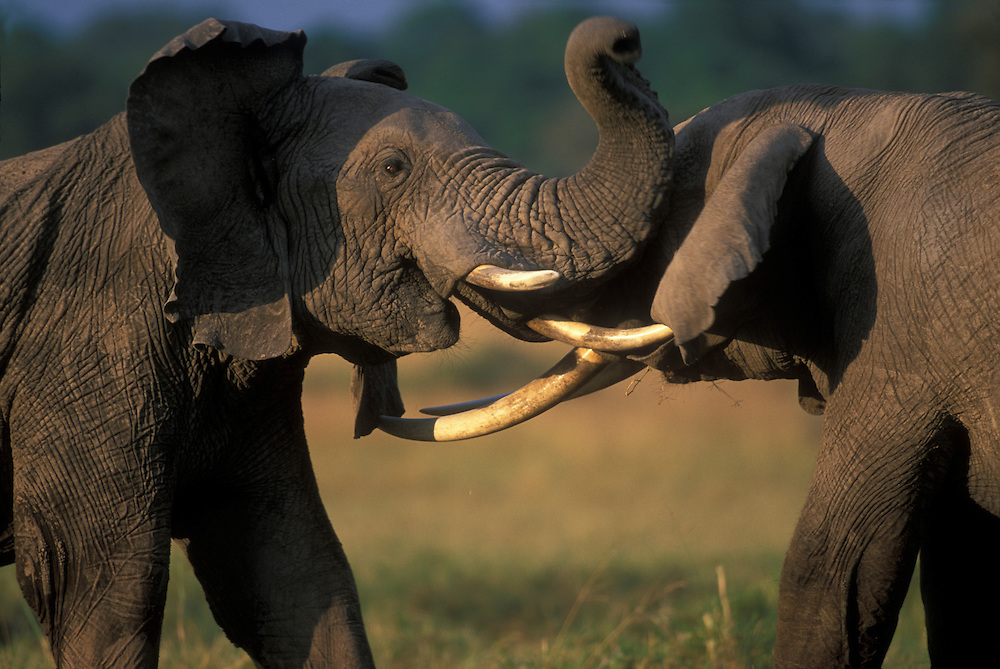 Africa, Kenya, Masai Mara Game Reserve, Two Bull elephants (Loxodonta africanus) sparring with tusks on savanna