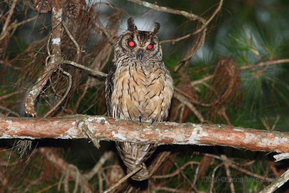 Madagascar Owl, Asio madagascariensis, Madagascar, by Markus Lilje