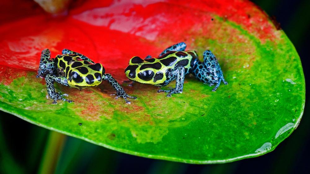 Poison Dart Frog (Dendrobates imitator)