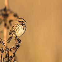 Savannah Sparrow on the autumn prairie
