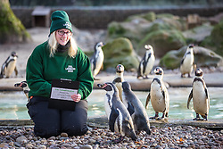 © Licensed to London News Pictures. 03/01/2017. London, UK. Zookeeper Suzi Hyde counts Humboldt Penguins at the London Zoo annual stocktake. Photo credit: Rob Pinney/LNP