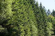 Fichten, Nationalpark bei Sankt Oswald, Bayerischer Wald, Bayern, Deutschland | spruces, national park near Sankt Oswald, Bavarian Forest, Bavaria, Germany