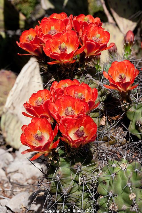 Claret Cup Cactus, Echinocereus occineus, Terrell County, TX.