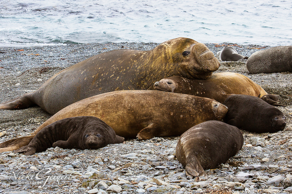 Group of elephant seals sleeping on the beach, Antarctic. Wildlife and nature photography wall art, fine art photography prints, stock images.