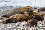 Animals, group of seals.<br /> MG5197
