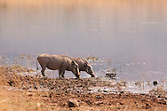 The common warthog is a wild member of the pig family found in grassland, savanna and woodlands in sub-Saharan Africa.