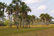 Vereda, a treeless grassland ecosystem on seasonally waterlogged soil with stands of buriti palms (Mauritia flexuosa) in permanently wet spots. Savanna biome (called  cerrado in Brazil). Grande Sertão Veredas National Park (or proximity), Minas Gerais or Bahia State, Brazil.