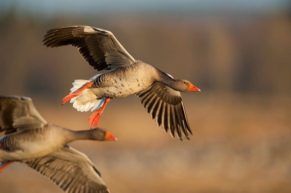 Graylag geese (Anser anser) Lake Hornborga, Sweden. March 2009. Mission: Sweden (crane and swan)