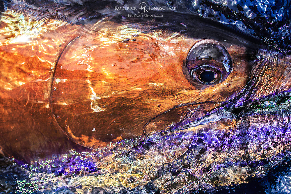Blue Marlin Close-up shot next to the boat offshore Luanda, Angola. The fish shows amazing metallic shades of bronze, purple and blues.