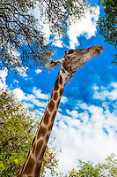 Giraffe, Lion Park, near Johannesburg, South Africa.