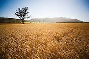 Wheat Field, near Narrabri, NSW, Australia