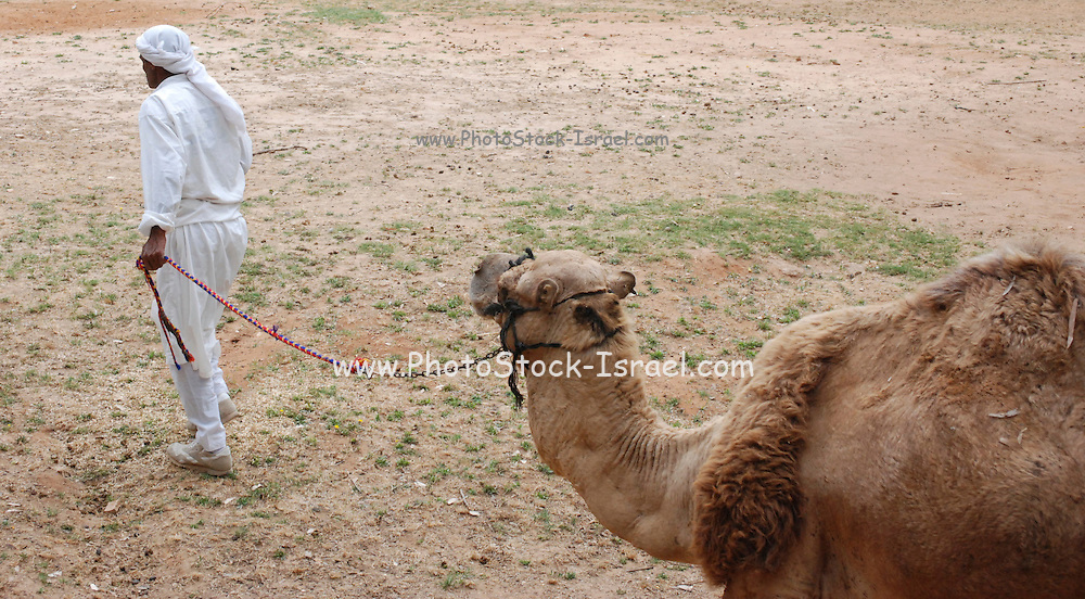 Bedouin walks his camel
