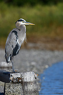 Great Blue Heron standing on a old piling by the ocean.