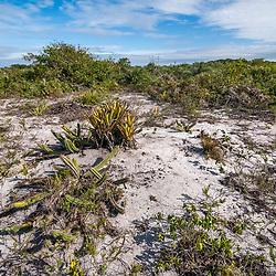 """Aberta de Clúsia (Paisagem) fotografado em Guarapari, Espírito Santo -  Sudeste do Brasil. Bioma Mata Atlântica. Registro feito em 2008.<br /> <br /> <br /> <br /> ENGLISH: Open of Clusia photographed in Guarapari, Espírito Santo - Southeast of Brazil. Atlantic Forest Biome. Picture made in 2008."""