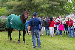 Kentucky Derby 142 winner Nyquist held by Fernel Serrano for a handful of journalists and fans at his barn on the backside the morning after the race, Sunday, May 08, 2016 at Churchill Downs in Louisville.