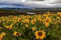 Yellow balsamroot wildflowers blow in the wind on Rowena Crest in the Columbia River Gorge on a cloudy Spring afternoon.