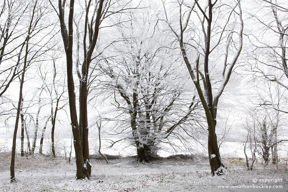 Hoar frost on beech trees in woodland near Birdlip on a snowy winter's morning. Fagus sylvatica
