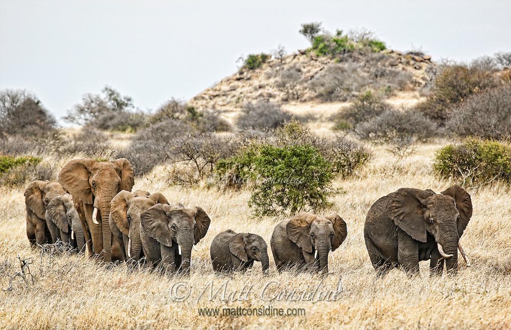 Herd of African elephants walking single file through grassland savannah as they follow a matriarch along old paths to the next water hole, Kenya, Africa (photo by Wildlife Photographer Matt Considine)