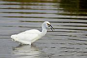 Snowy Egret, Bolsa Chica, North America