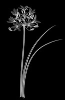 X-ray image of an African blue lily (Agapanthus, white on black) by Jim Wehtje, specialist in x-ray art and design images.