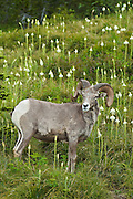 Bighorn Sheep in bear grass meadow at Logan Pass, Glacier National Park, Montana..