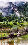 Water buffalo near a rice field at Tham Lot Khong Lo, Laos.