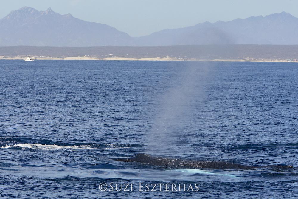 Humpback Whale<br /> Megaptera novaeangliae<br /> Sea of Cortez, Baja California, Mexico