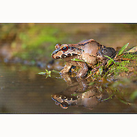 Young Smoky Jungle Frog (Leptodactylus pentadactylus) sitting next to pool near Boca Tapada, Costa Rica, February, 2014.