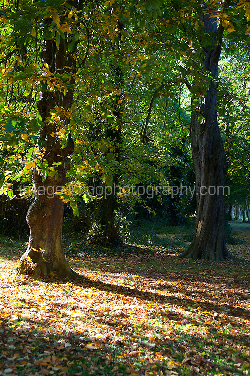 Horse-chestnut tree with autumn leaves in Cabinteely Park Dublin Ireland