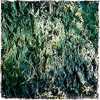 2013 May 13:  Williams Selyem Winery in Sonoma County's Russian River Valley.  Healdsburg, California.  iPhone, Hipsta photo.  Tree moss.