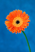 Orange Gerbera flower on a blue background.