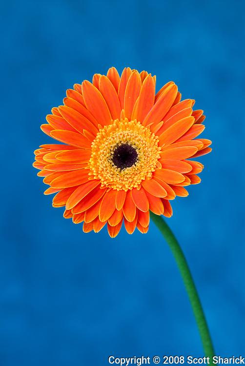 Orange Gerbera flower on a blue background.