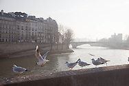France. paris. City island.  gulls flying over the Seione river  view from ile de la cite