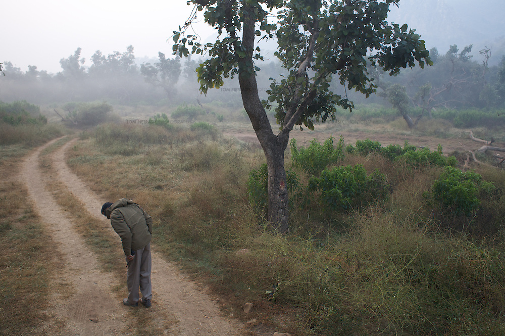 P.M. Sevda, Assistant Conservator of Forests at Sariska National Park, looks for tiger pug-marks...Sariska National Park in Rajasthan was once home to dozens of tigers but by 2005 poaching had resulted in their complete eradication. Recognising the urgent need for intervention, the Indian and Rajasthan-state governments began the reintroduction of tigers into Sariska. Two cats were airlifted 200 km from Ranthambore National Park in June 2008. On November 5th an attempt to relocate a third tiger was postponed until later in the month. This relocation strategy is certainly an important part of the tiger conservation effort but many, including those like Dharmendra Khandal of the NGO Tiger Watch, argue that it will never be entirely successful without properly confronting the three essential issues that threaten tiger populations: poaching, habitat loss and the hunting of prey-base animals. In turn, these three issues cannot be addressed without acknowledging the malign influence of caste, poverty and poor administrative accountability. Poaching is almost exclusively undertaken by extremely poor and marginalised groups, including the Mogia caste who, without education, land and access to credit have limited alternative means of income. Many in the Mogia community also hunt bush meat for both their own consumption and to sell to others. This results in a depletion of the prey-base upon which tigers feed. Encroachment and grazing by those including the Gujar people who raise dairy herds, have led to habitat loss in Sariska and other parks. To properly tackle the problem of hunting and encroachment, the government must provide alternative livelihoods for marginalised groups and relocate them to viable land before - rather than after - the re-introduction of tigers. Compounding all these issues is the ridged hierarchy of India's forest department which discourages transparency, inhibits debate and cultivates a careerist culture that obstructs the involvement of other inter