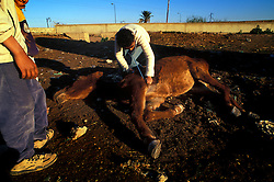 SPANA vet checks on a collapsed and dying mule, abandoned by its owner, and subsequently euthanised, Marrakech, Morocco.