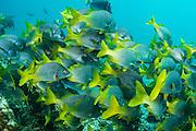 Yellowtail Grunt (Anisotremus interruptus)<br /> Rabida Island<br /> Pacific Ocean<br /> Galapagos<br /> Ecuador, South America