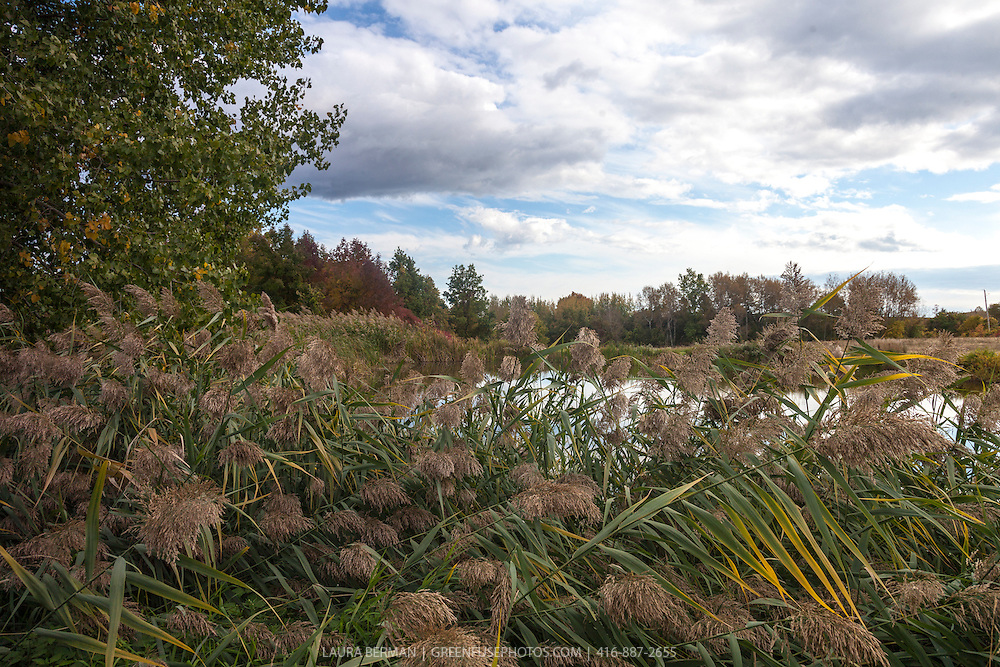 Phragmites, the Common reed, is a large perennial grass found in wetlands throughout temperate and tropical regions of the world. (It is incressingly to be ofund in roadside swales (Phragmites australis).