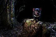 A beautiful devil unknowingly poses for a camera trap photo while scaling a log in the rainforest area of Cradle Mountain.