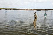 Tibau do Sul_RN, Brasil...Fazenda de criacao de camaroes em Tibau do Sul, Rio Grande do Norte...Farm shrimp farming in Tibau do Sul, Rio Grande do Norte...Foto: LEO DRUMOND / NITRO